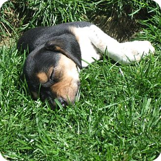 Beagle Mix Puppy for adoption in Novi, Michigan - Velvety