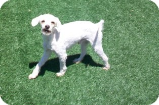 Poodle (Miniature) Mix Dog for adoption in Tustin, California - Rigley