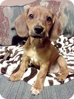 Dachshund/Jack Russell Terrier Mix Puppy for adoption in Richmond, Virginia - Kermit