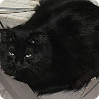 Domestic Shorthair Cat for adoption in Gilbert, Arizona - Laurant