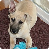 Adopt A Pet :: *Shea - PENDING - Westport, CT
