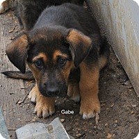 Adopt A Pet :: Gabe in CT - East Hartford, CT