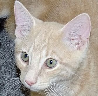 Domestic Shorthair Cat for adoption in Mt. Vernon, New York - Buff Boy