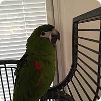 Adopt A Pet :: Ramen - Punta Gorda, FL