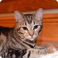 Domestic Shorthair Cat for adoption in Baton Rouge, Louisiana - Mr. Squeakers