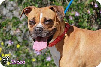 Boxer Dog for adoption in Huntington Beach, California - Sarah