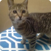Adopt A Pet :: Tiger - Columbus, OH