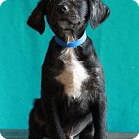 Adopt A Pet :: Mowgli - Waldorf, MD