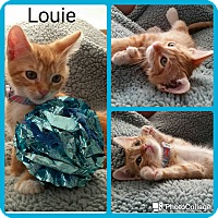 Adopt A Pet :: Louie - Arlington/Ft Worth, TX