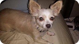 Papillon/Chihuahua Mix Dog for adoption in Eldora, Iowa - Miss Tuxie