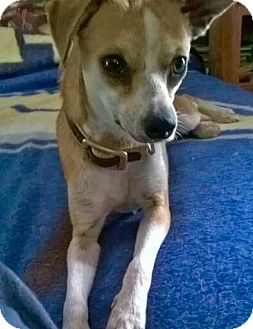 Dachshund/Chihuahua Mix Dog for adoption in Tonawanda, New York - Wilma