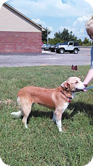 Border Collie/Golden Retriever Mix Dog for adoption in Trenton, New Jersey - Gracie (has been adopted)