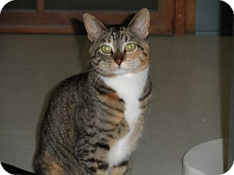 Domestic Shorthair Cat for adoption in Milwaukee, Wisconsin - Rocky Road