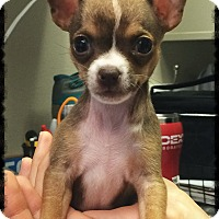 Chihuahua Puppy for adoption in Los Alamitos, California - Edith
