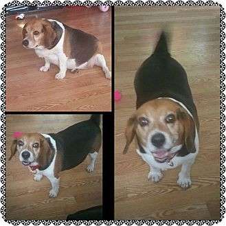 Beagle Dog for adoption in Shallotte, North Carolina - Shortie