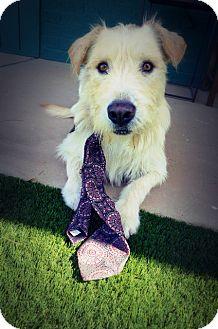Otterhound Mix Dog for adoption in Casa Grande, Arizona - Owen