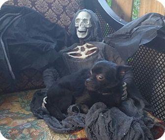 Schipperke/Chihuahua Mix Dog for adoption in Houston, Texas - KITTY
