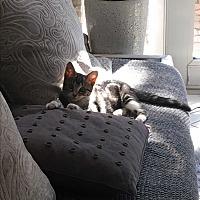 Domestic Shorthair Kitten for adoption in Pembroke pInes, Florida - Leo