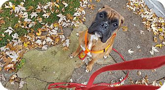Boxer Dog for adoption in Waterford, Michigan - Marshall