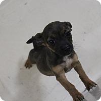 Adopt A Pet :: A31 Emma - Odessa, TX