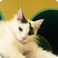 Domestic Mediumhair Cat for adoption in Pittsburg, Kansas - Jill