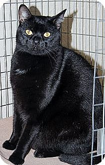 Domestic Shorthair Cat for adoption in McDonough, Georgia - Lenox