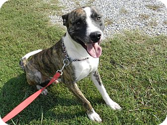 Pit Bull Terrier/Akita Mix Dog for adoption in Lawrenceburg, Tennessee - Junior