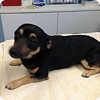 Adopt A Pet :: Adam - Pompano Beach, FL