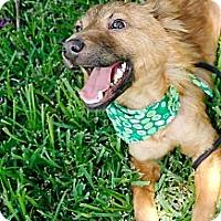 Adopt A Pet :: Champ - Houston, TX