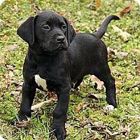 Adopt A Pet :: Little Beau - Staunton, VA