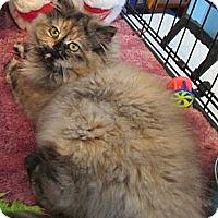 Adopt A Pet :: Calypso - Acme, PA