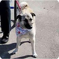 Adopt A Pet :: Bear - Belleville, MI