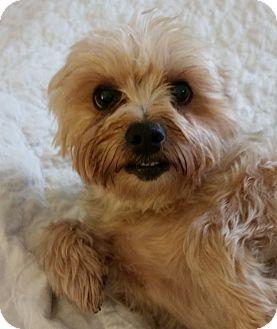 Yorkie, Yorkshire Terrier Mix Dog for adoption in Homer, New York - Jordan