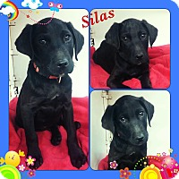 Adopt A Pet :: Silas in CT - East Hartford, CT