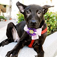 Adopt A Pet :: Abbie - Surrey, BC