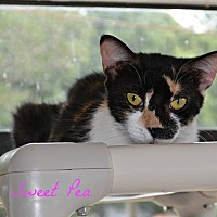 Adopt A Pet :: Sweet Pea - PT ORANGE, FL