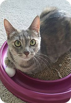 Domestic Shorthair Cat for adoption in Huntley, Illinois - Skittles