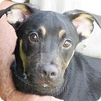 Adopt A Pet :: Rebel - Germantown, MD