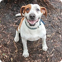 Hound (Unknown Type)/Bulldog Mix Dog for adoption in Savannah, Georgia - Buster 2