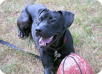 Pit Bull Terrier/Labrador Retriever Mix Dog for adoption in Worcester, Massachusetts - Hudson