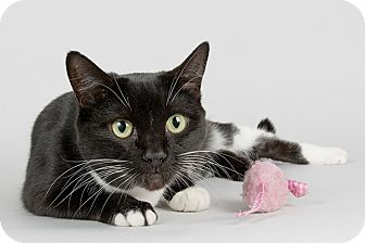 Domestic Shorthair Cat for adoption in Wilmington, Delaware - Lynn