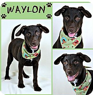 Labrador Retriever Mix Puppy for adoption in Palmyra, Pennsylvania - Waylon