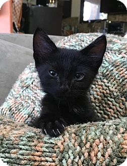 Domestic Shorthair Cat for adoption in Los Angeles, California - Spidey