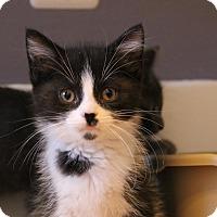 Adopt A Pet :: Blu - Rochester Hills, MI