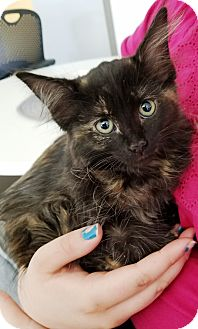 Domestic Longhair Kitten for adoption in Kalamazoo, Michigan - Spooky