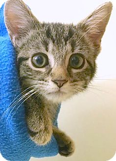 Domestic Shorthair Kitten for adoption in Montclair, New Jersey - Jean