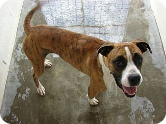 Boxer Mix Dog for adoption in Fort Scott, Kansas - Sage