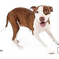 Adopt A Pet :: Ty - Scottsdale, AZ