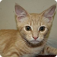 Adopt A Pet :: YAMATO - SILVER SPRING, MD