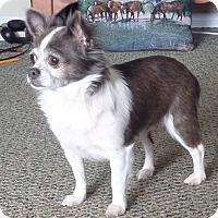 Adopt A Pet :: Snuggles - Chewelah, WA
